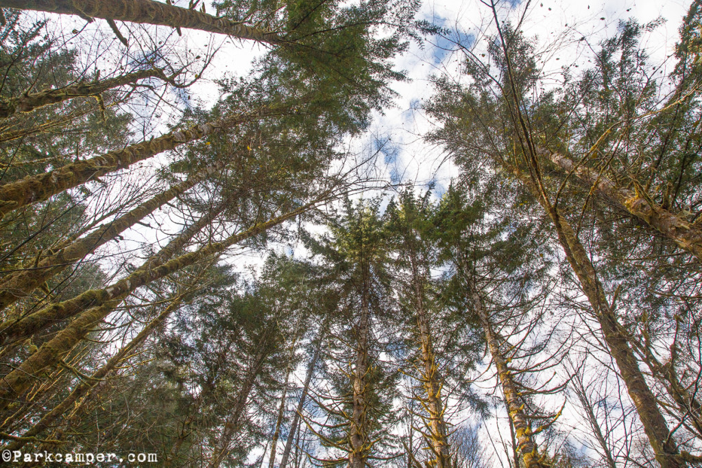 Tillamook-State-Forest-canopy