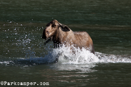 angry cow moose charges across lake