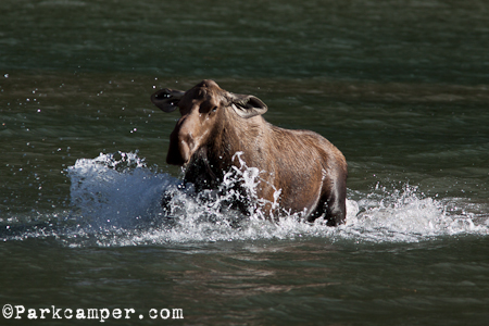 cow moose with ears pinned back rips across lake to charge people