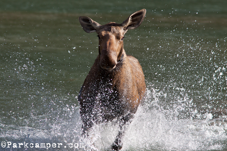 moose charges tourists across lake, sends up water spray
