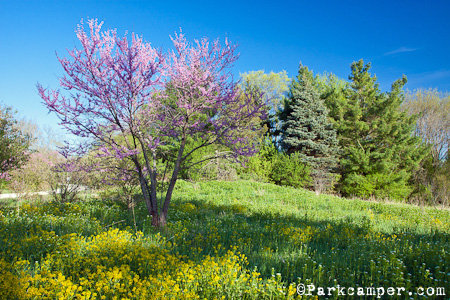 purple blossoming tree and yellow flowers
